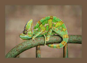 Ellen Zangla Photography Lizard Chameleon Iguana Picture Loudoun Fairfax Washington DC  Leesburg Ashburn Middleburg  Reston Tysons Corner Vienna Alexandria Bethesda Potomac Rockville