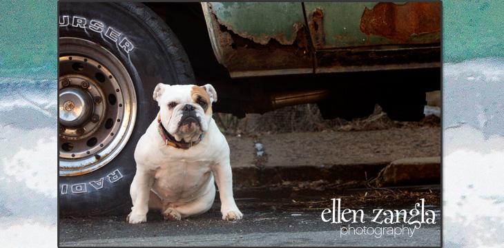 Bulldog photo, Leesburg pet photography, Loudoun County pet photography