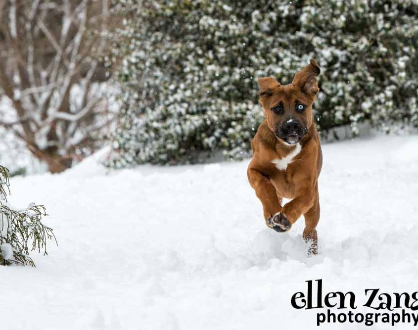 Ellen|Zangla|Photography|Dog|Puppy|Photo|Picture|Loudoun|Fairfax|Washington DC| Leesburg|Ashburn|Middleburg| Reston|Tysons Corner|Vienna|Alexandria|Bethesda|Potomac|Rockville|Siberian Husky|German Shepherd
