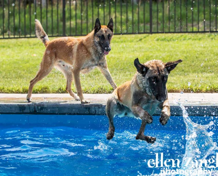 Ellen|Zangla|Photography|Dog|Puppy|Photo|Picture|Loudoun|Fairfax|Washington DC| Leesburg|Ashburn|Middleburg| Reston|Tysons Corner|Vienna|Alexandria|Bethesda|Potomac|Rockville|Jumping|Pool