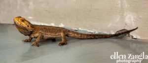 Ellen|Zangla|Photography|Lizard|Chameleon|Iguana|Picture|Loudoun|Fairfax|Washington DC| Leesburg|Ashburn|Middleburg| Reston|Tysons Corner|Vienna|Alexandria|Bethesda|Potomac|Rockville