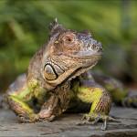 Iguana photo in Leesburg, VA
