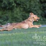 Action photo of running Chihuahua in Leesburg VA
