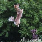 Action shot of Chihuahua jumping in Ashburn VA