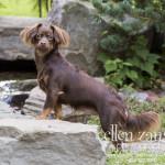 Chihuahua photograph in Loudoun County VA