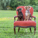 Photo of two Chihuahua puppies together on a chair