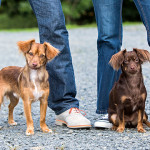 Photo of two chihuahua mixes with their owners