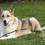 Czechoslovakian Wolfdog Dog Photo