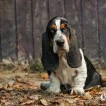 Basset Hound Puppy Photography