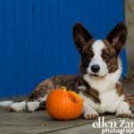 Corgi dog photogaphy Middleburg VA