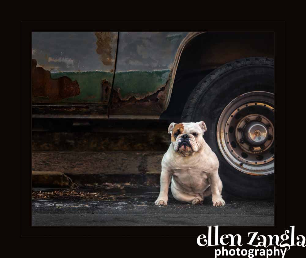 Ellen|Zangla|Photography|Pet|Photo|Dog|Bulldog|Loudoun|Fairfax|Washington DC|Reston|Leesburg|Ashburn|Middleburg
