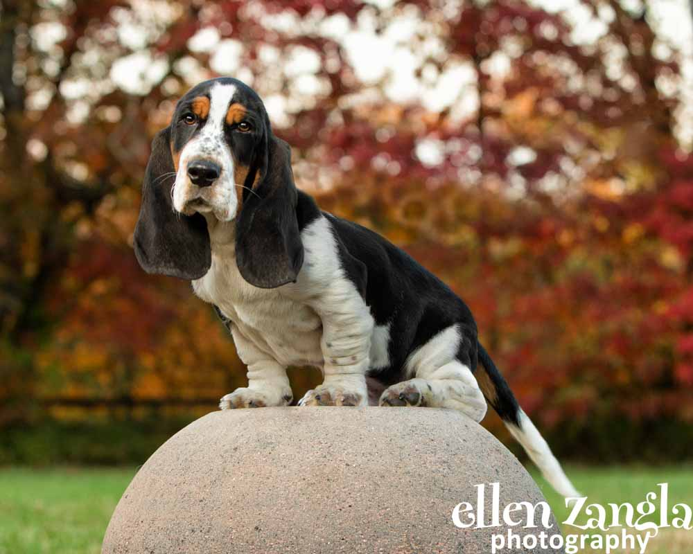 Ellen|Zangla|Photography|Dog|Puppy|Photo|Picture|Loudoun|Fairfax|Tysons|Middleburg|Leesburg|Ashburn|Reston|Washington DC|Bethesda|Potomac|Rockville|Vienna