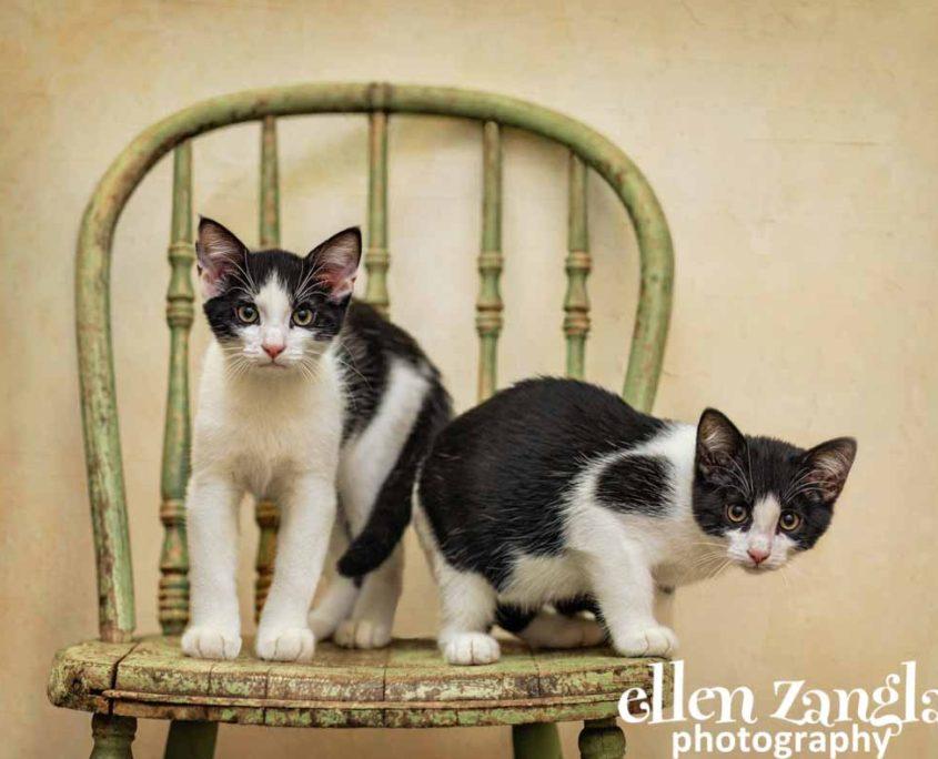 Ellen|Zangla|Photography|Cat|Kitten|Photo|Picture|Loudoun|Fairfax|Washington DC| Leesburg|Ashburn|Middleburg| Reston|Tysons Corner|Vienna|Alexandria|Bethesda|Potomac|Rockville