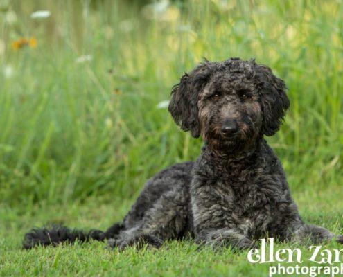 Ellen Zangla Photography, Dog Photographer, Loudoun County, Double Doodle puppy