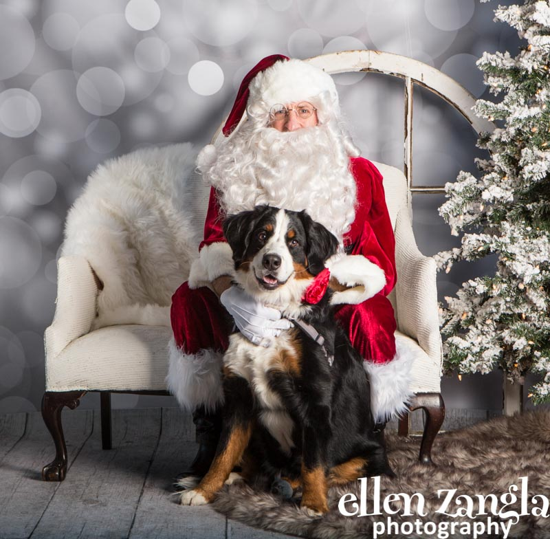 Ellen Zangla Photography, Dog Photographer, Loudoun County , Bernese Mountain Dog