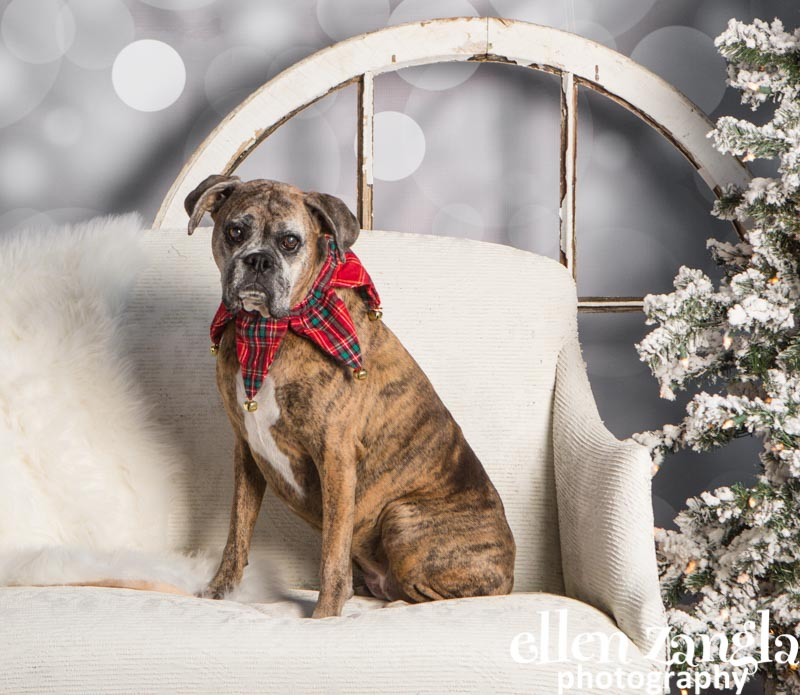 Ellen Zangla Photography, Dog Photographer, Loudoun County, Boxer