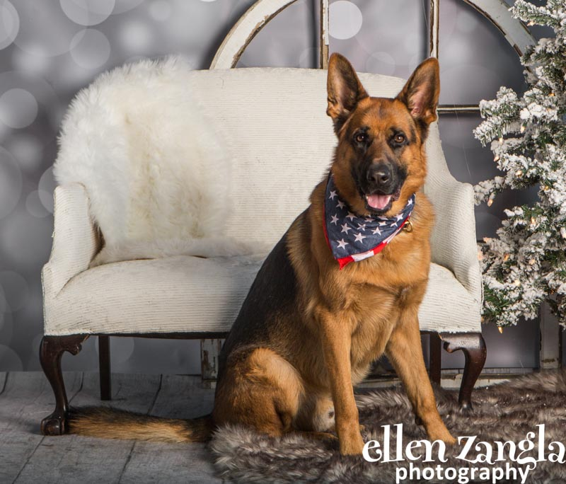 Ellen Zangla Photography, Dog Photographer, Loudoun County, German Shepherd