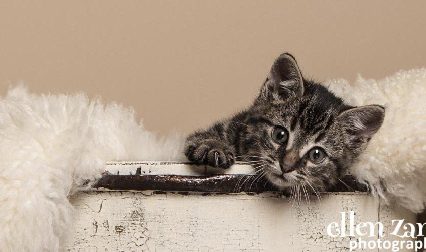 Ellen Zangla Photography, Cat Photographer, Loudoun County, Kitten Photo