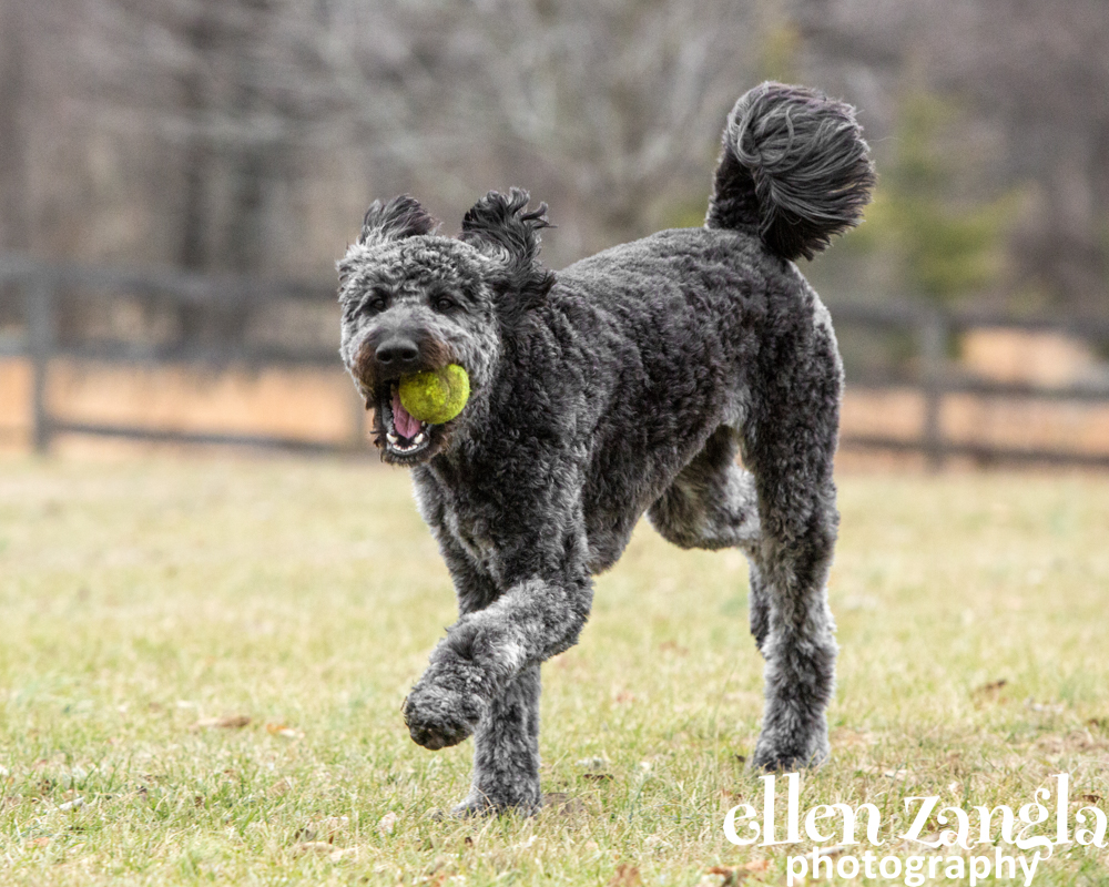 Dog Photographer, Loudoun County, Ellen Zangla Photography