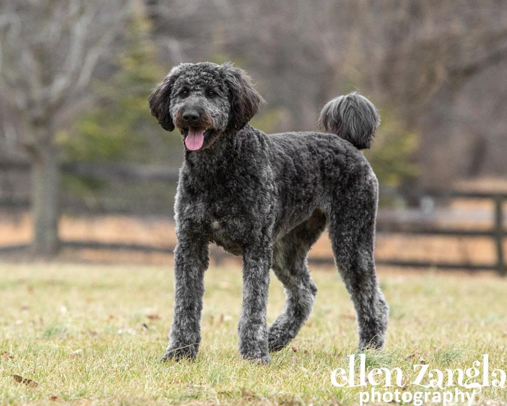 Goldendoodle, Labradoodle, Dog Photographer, Loudoun County, Ellen Zangla Photography