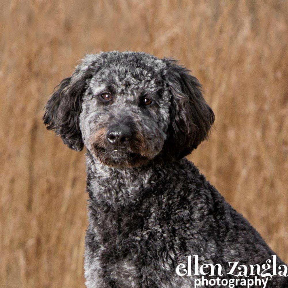 Labradoodle, Goldendoodle, Dog Photographer, Ellen Zangla Photography, Loudoun County