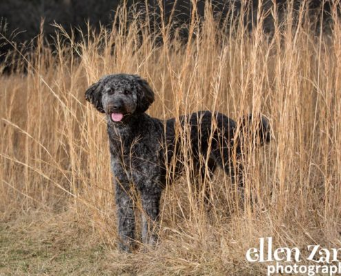 Dog Photographer, Loudoun County, Ellen Zangla Photography, Goldendoodle, Labradoodle