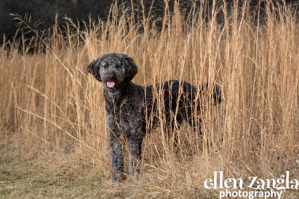 Dog Photographer, Loudoun County, Ellen Zangla Photography, Goldendoodle, Labradoodle