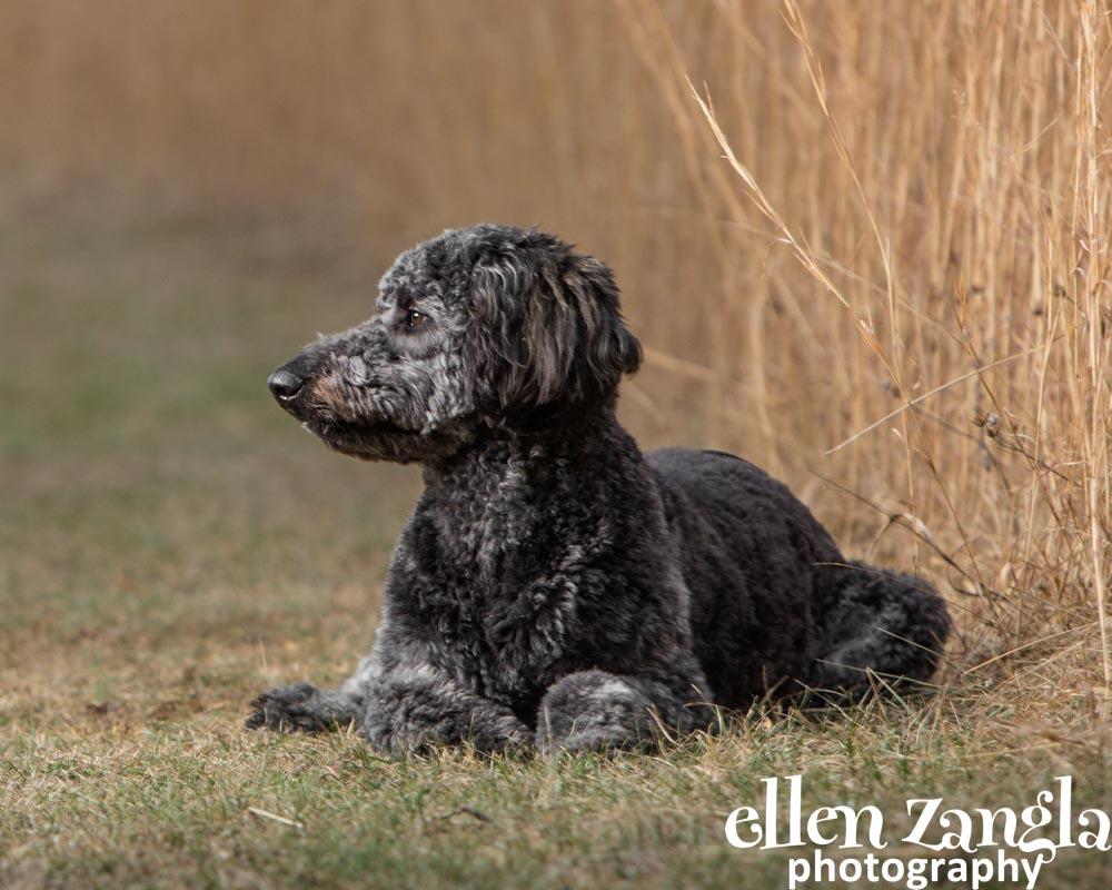 Doubledoodle Pictures, Dog Photographer, Ellen Zangla Photography, Loudoun County