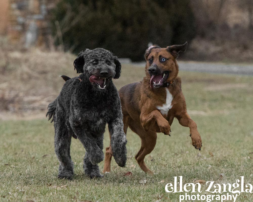 Ellen Zangla Photography, Dog Photographer, Loudoun County, Goldendoodle Photo, Labradoodle Photo, Mixed Breed Dog Photo