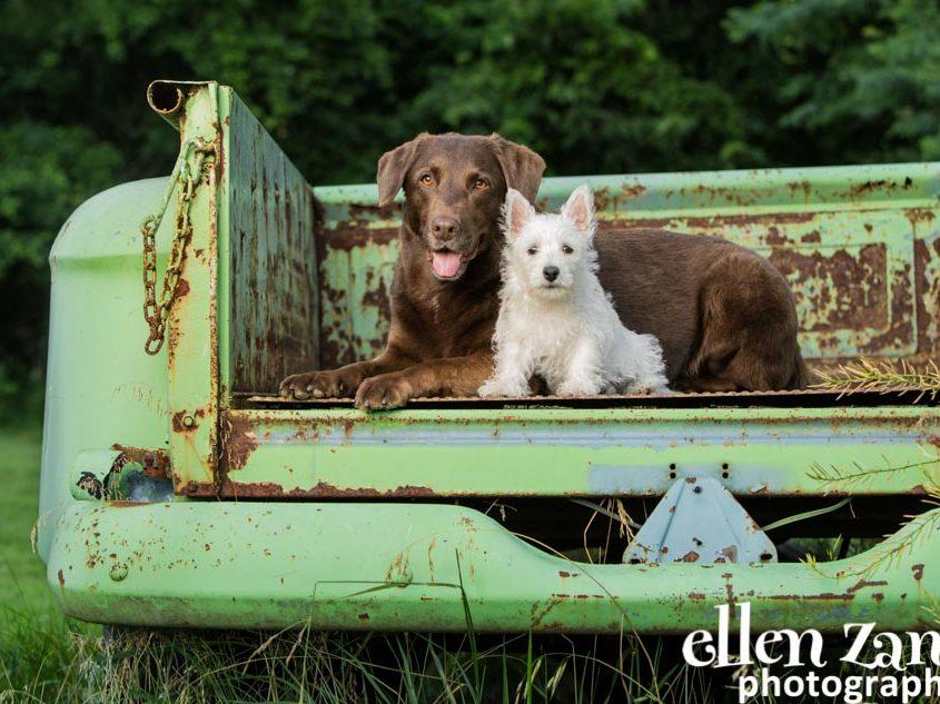 Ellen Zangla Photography, Dog Photographer, Loudoun County, Yorkie Picture, Lab Picture