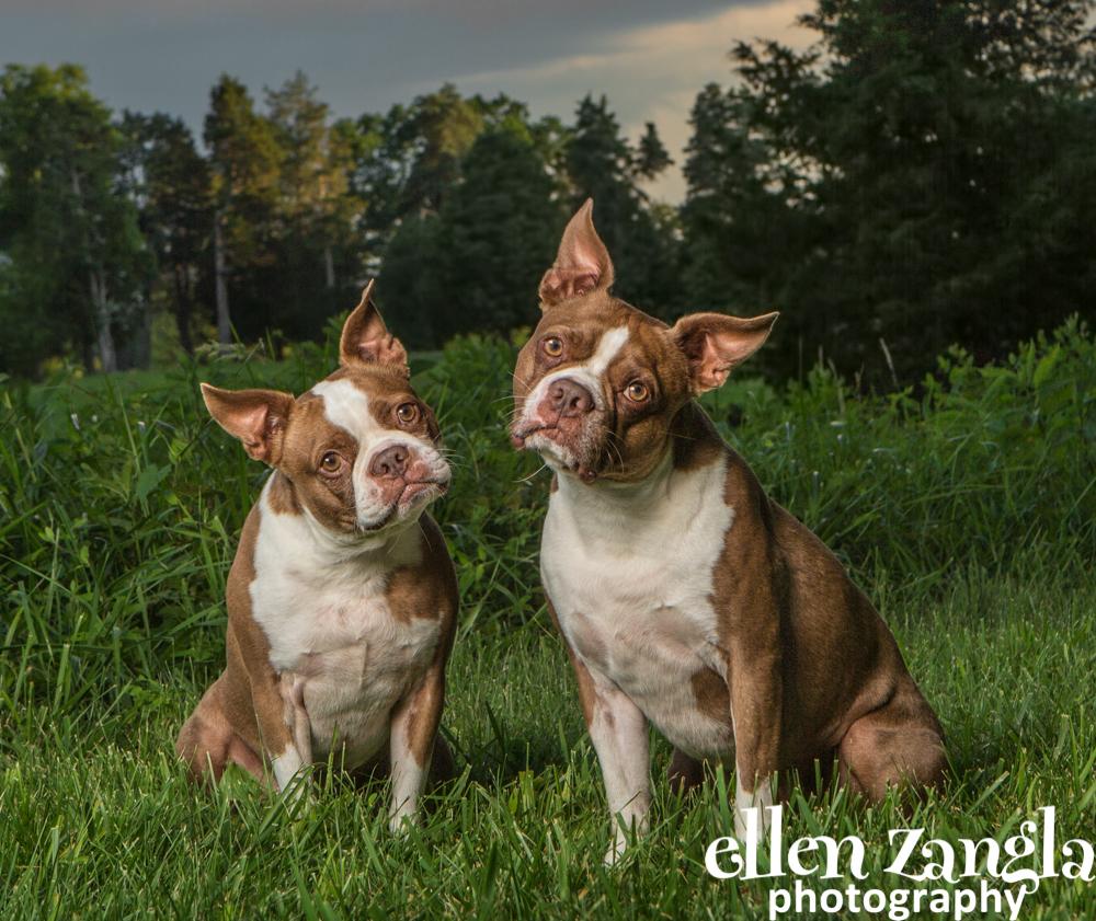 Boston Terrier Photo, Ellen Zangla Photography, Dog Photographer, Loudoun County