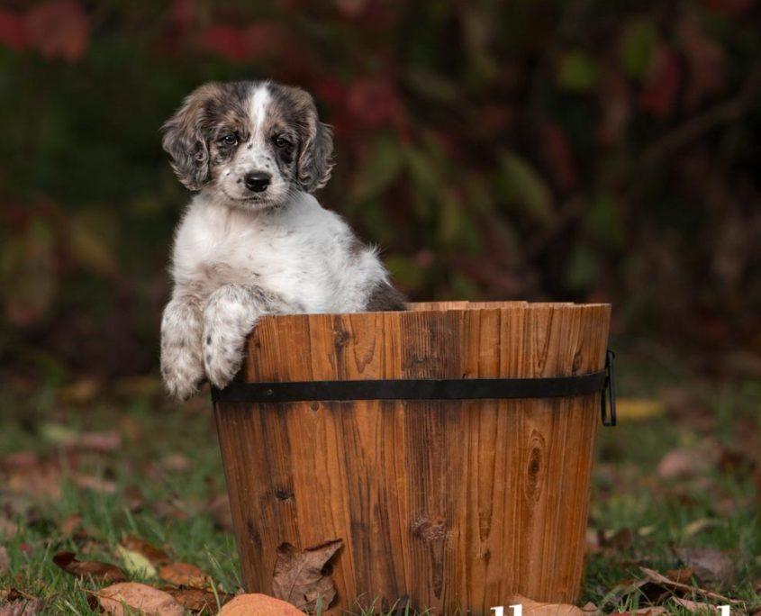 Ellen Zangla Photography, Dog Photographer, Loudoun County, Golden Retriever and Cocker Spaniel Mix Puppy Photo