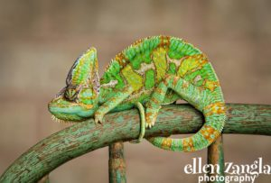 Ellen Zangla Photography, Dog Photographer, Loudoun County, Chameleon Picture