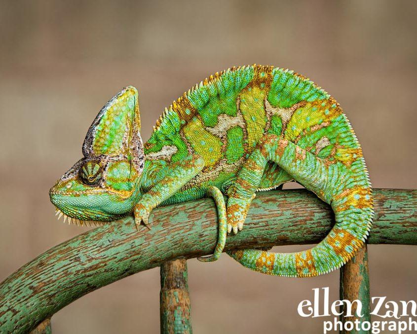Ellen Zangla Photography, Dog Photographer, Loudoun County, Chameleon Picture