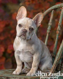 Ellen Zangla Photography, Dog Photographer, Loudoun County, Puppy Photo, French Bulldog Puppy Picture