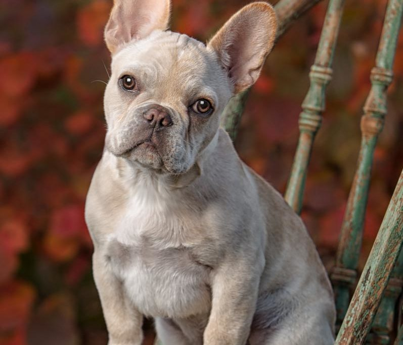 Ellen Zangla Photography, Dog Photographer, Loudoun County, Puppy Photo, French Bulldog Puppy Picture