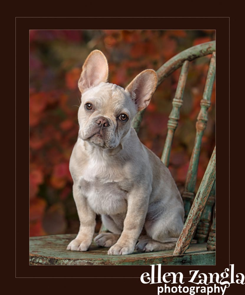 Ellen Zangla Photography, Dog Photographer, Loudoun County, French Bulldog Puppy Photo