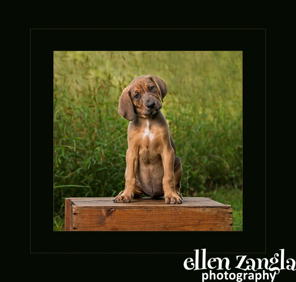 Ellen Zangla Photography, Dog Photographer, Loudoun County, Hound Puppy Photo