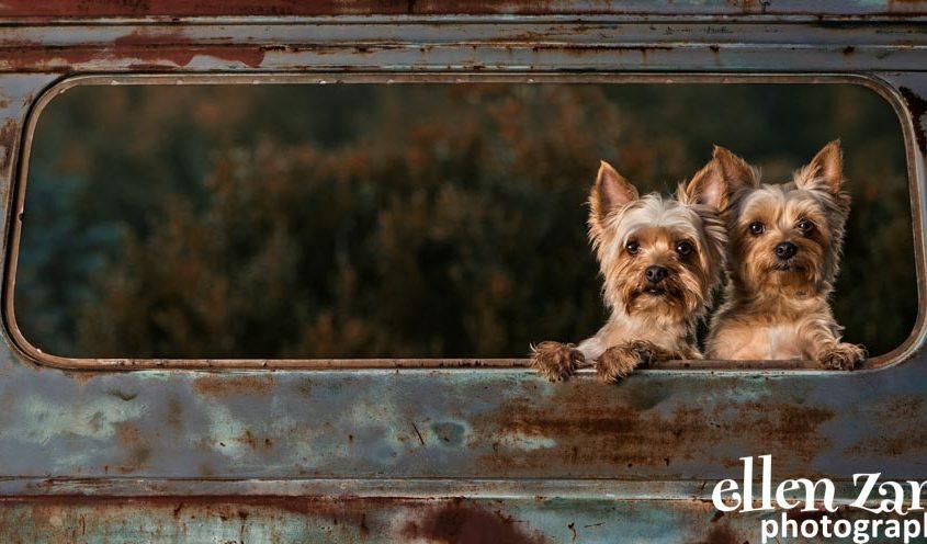 Ellen Zangla Photography, Dog Photographer, Loudoun County, Yorkies Picture