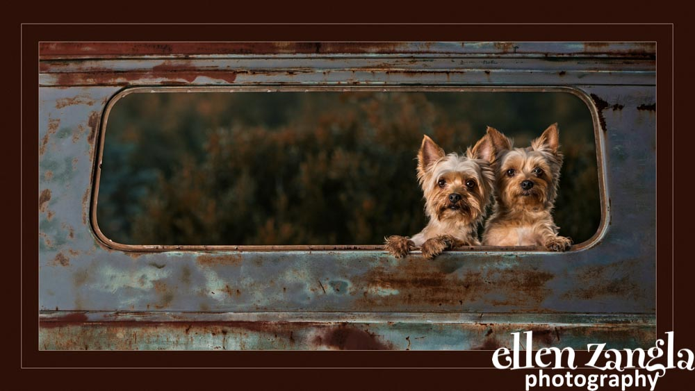 Ellen Zangla Photography, Dog Photographer, Loudoun County, Yorkie Photo