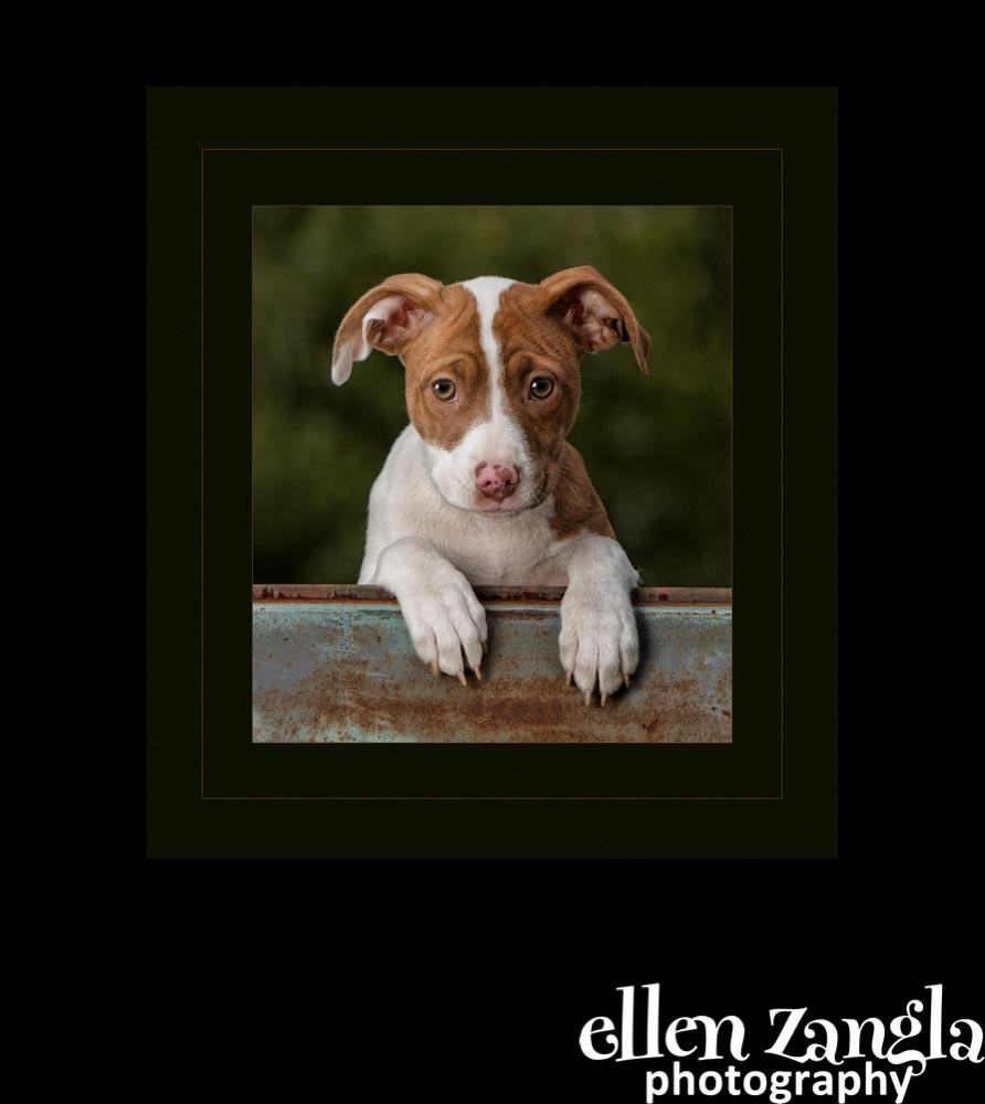 Ellen Zangla Photography, Dog Photographer, Loudoun County, Mixed Breed Puppy Photo
