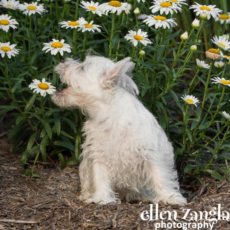 Ellen Zangla Photography, Dog Photographer, Loudoun County, Westie Puppy Photo, Puppy Picture