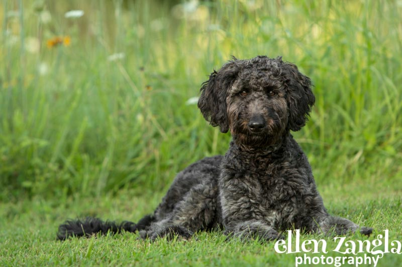 Ellen Zangla Photography, Dog Photographer, Loudoun County, Puppy Picture, Goldendoodle Puppy, Labradoodle Puppy
