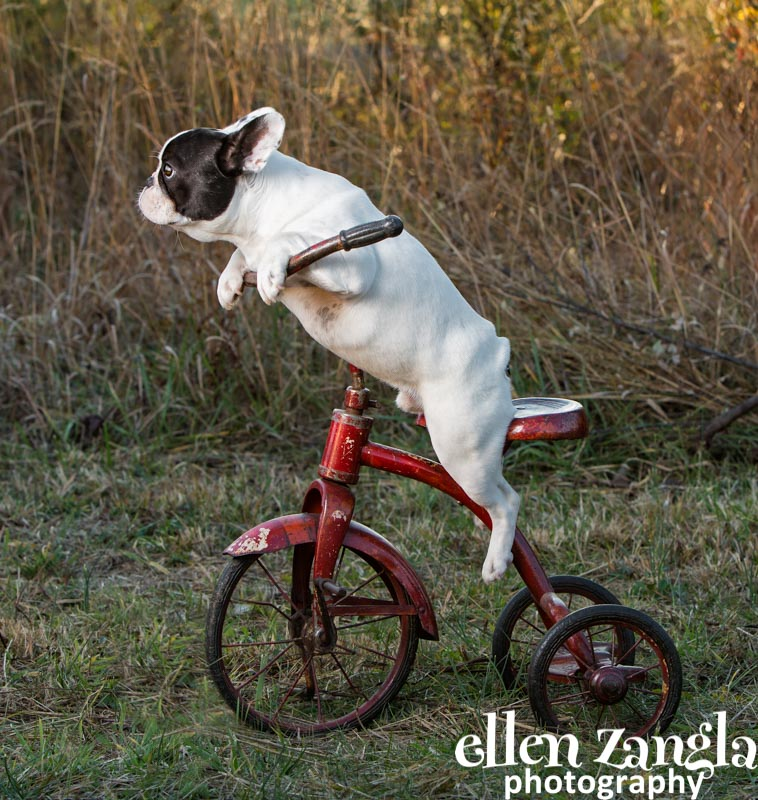 Ellen Zangla Photography, Dog Photographer, Loudoun County, Puppy Picture, Frenchie Puppy Photo