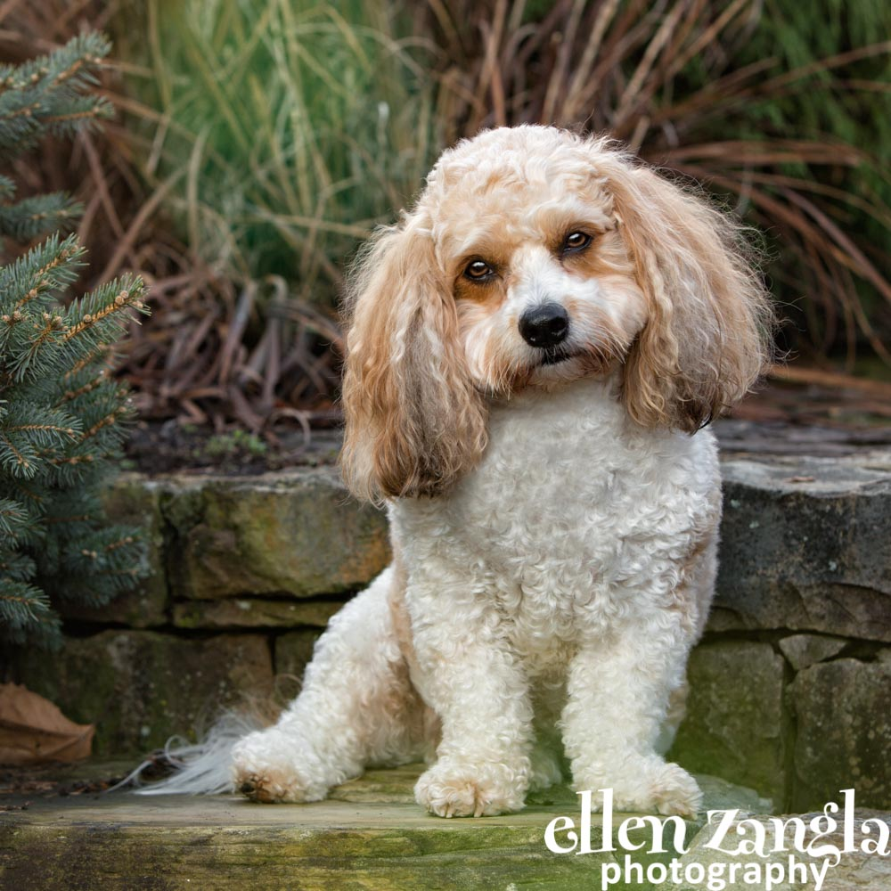 Cavachon photo, Dog photographer, Ellen Zangla Photography, Loudoun County