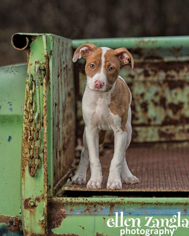 Ellen Zangla Photography, Dog Photographer, Loudoun County, Puppy Picture