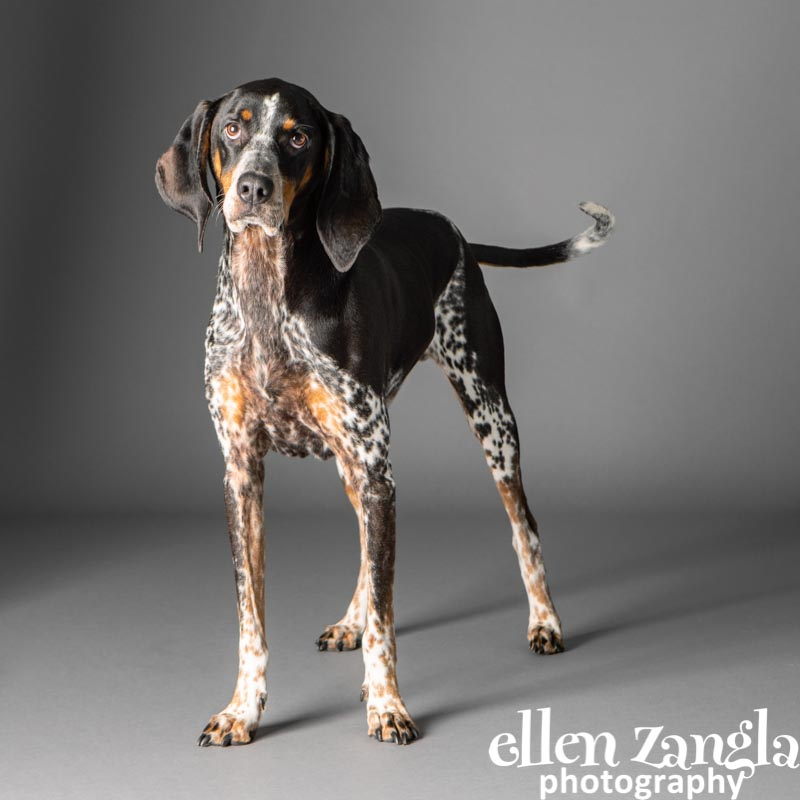 Hound photo, Ellen Zangla Photography, Loudoun County Pet Photographer