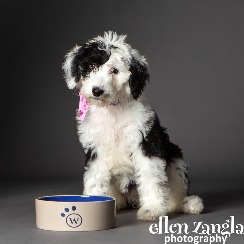 Face of Woofie's Fundraiser, Ellen Zangla Photography, Puppy photographer, Sheepadoodle puppy