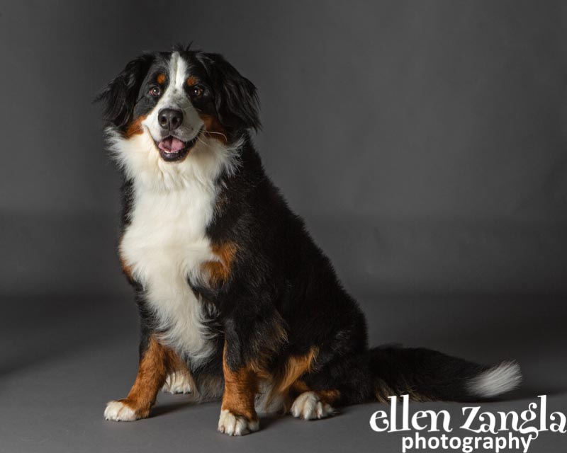 Bernese Mountain Dog Photo, Ellen Zangla Photography, Dog Photographer Loudoun County