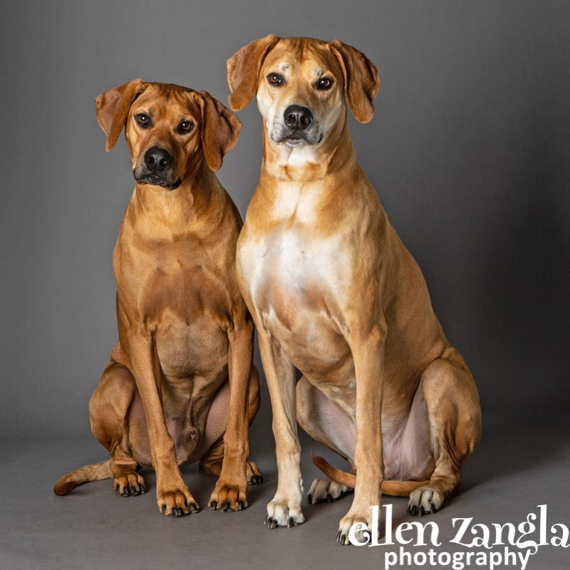 Ellen Zangla Photography, Loudoun County Dog Photographer, Rhodesian Ridgeback Photo